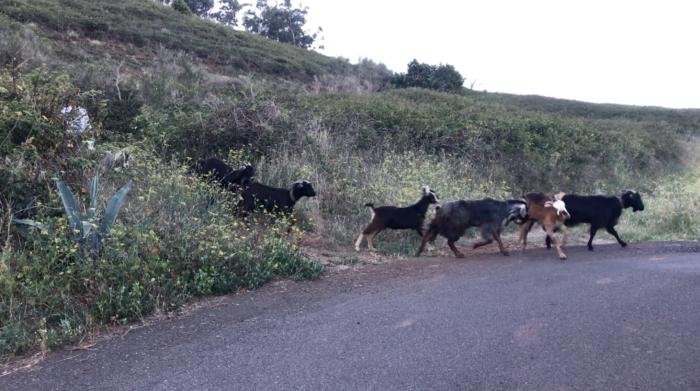 Cabras tras subir la montaña