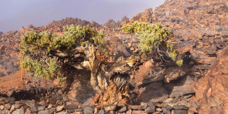 El cedro milenario del Teide por Lainakai