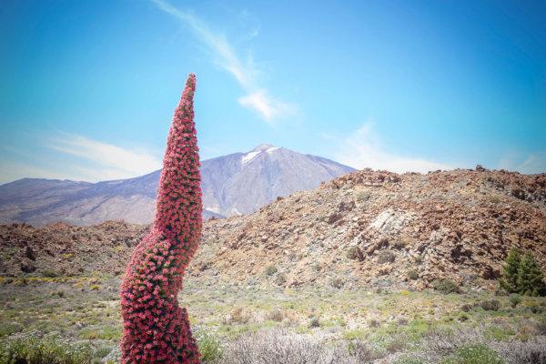 Tajinaste rojo del Teide
